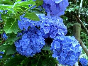 濃い青の紫陽花