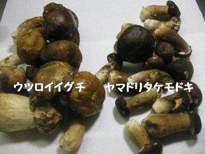 ウツロイイグチとヤマドリ茸