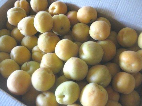 樹上完熟杏