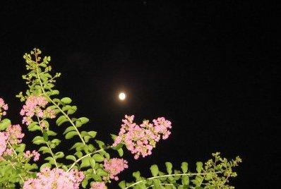 百日紅の花越しの月