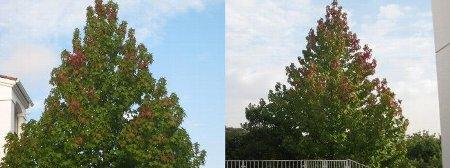 メイプルの木