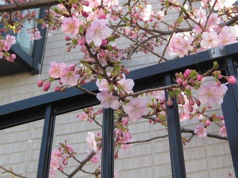 sakura_20100215145805.jpg