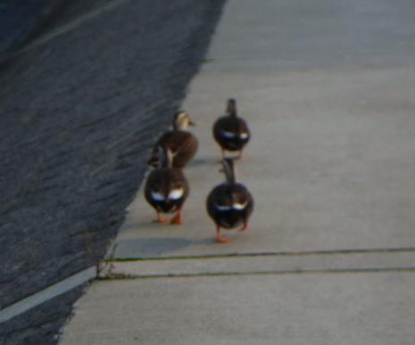 鴨の縦列散歩