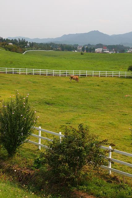 蒜山高原~ジャージー牛