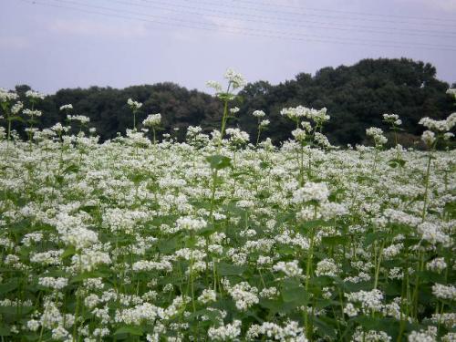 ソバの花5