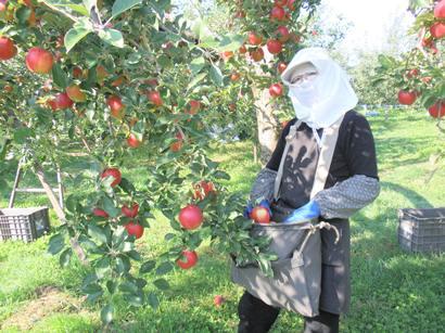 葉とらずりんご 紅玉