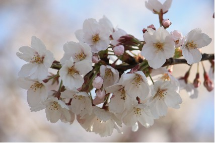 2010水月公園桜3
