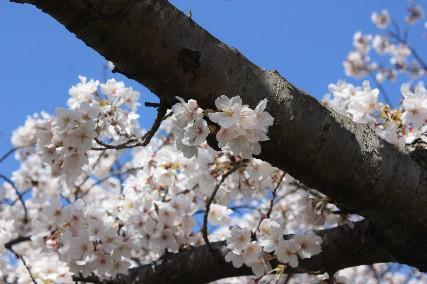 2010水月公園桜4