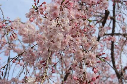 西猪名公園桜1
