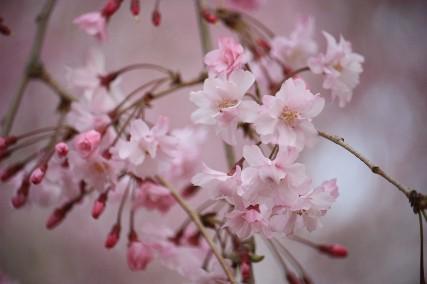 西猪名公園桜2