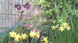 黄水仙も咲いています