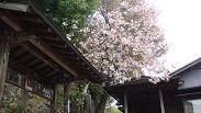 可愛い桜も咲いています