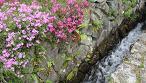 明るい色の芝桜