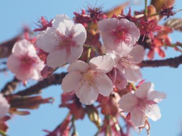 kanzakura_20110227_1
