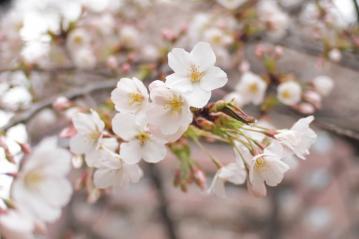 konnohzakura_20110403_3