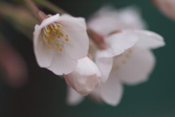 konnohzakura_20110403_4