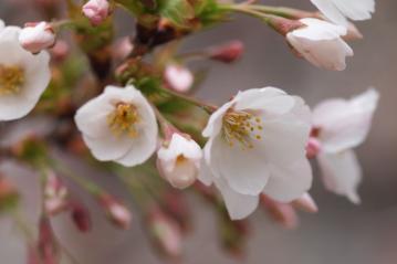 konnohzakura_20110403_5