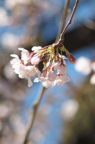sakura_shinjo_20110404_1