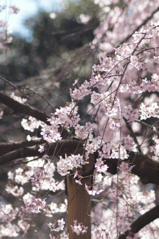 sakura_rikugien_20110404_2