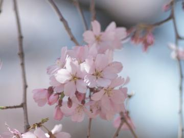 sakura_rikugien_20110404_3