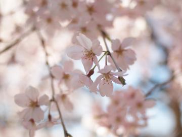 sakura_rikugien_20110404_5
