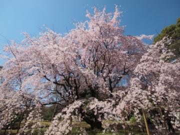 sakura_rikugien_20110404_1