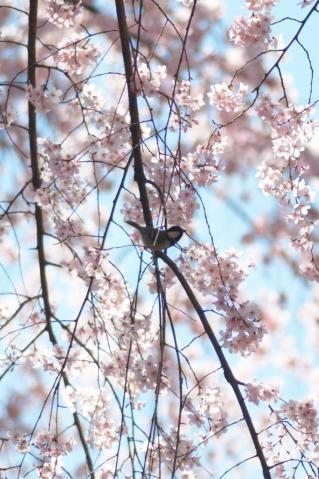 sakura_rikugien_20110404_9