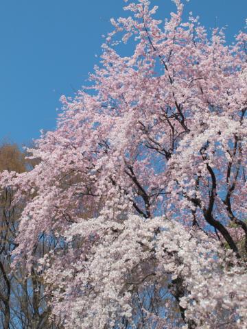 sakura_rikugien_20110404_6