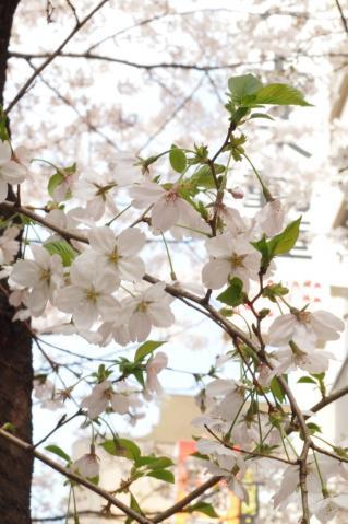sakura_shibuya_20110410_1