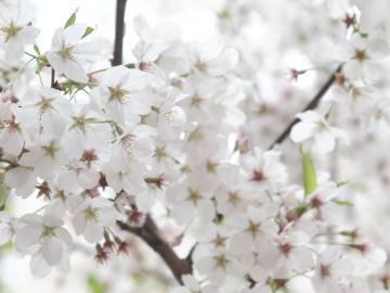 sakura_shibuya_20110410_4