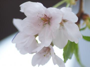 sakura_shibuya_20110410_6