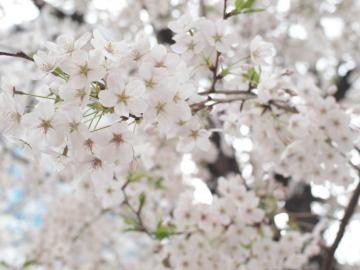 sakura_shibuya_20110410_7