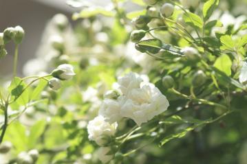White_rose_20110424