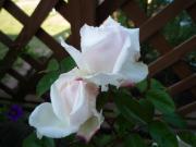 100513粉粧桜
