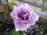 100517紫のバラ
