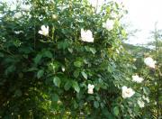 100517ツル薔薇