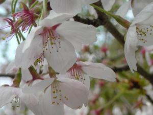 2011桜6