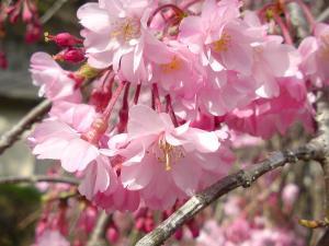2011桜9