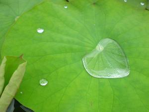 三室戸寺蓮の葉