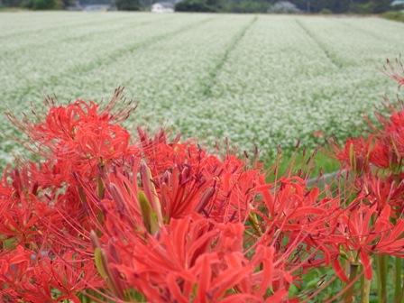 蕎麦の花と彼岸華