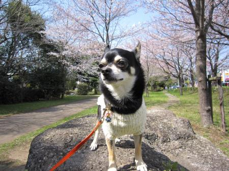 いろんな桜4