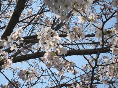 いろんな桜5