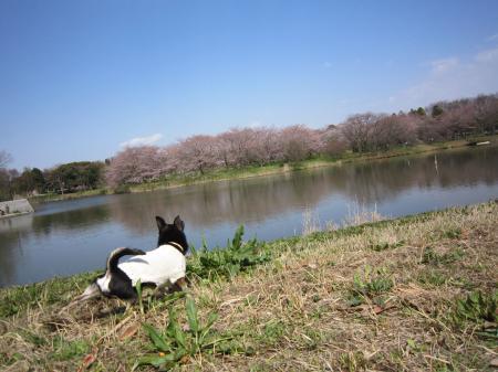 いろんな桜9