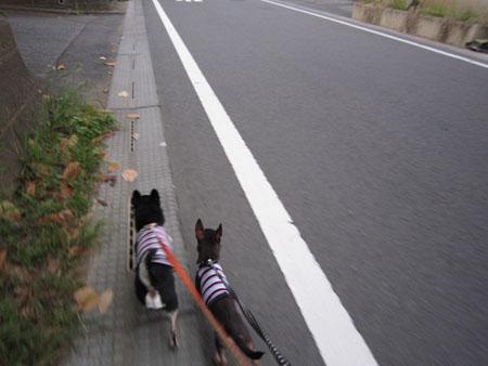カンガルー犬。4