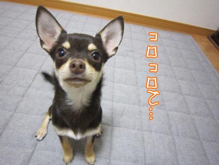 コロコロ犬。1