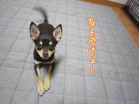 コロコロ犬。2
