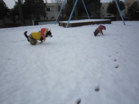 雪やコンコン、チワワはピョンピョン。2