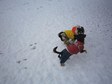 雪やコンコン、チワワはピョンピョン。3