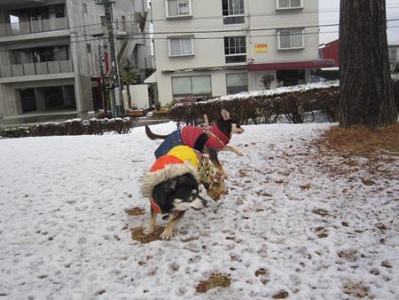 雪やコンコン、チワワはピョンピョン。4