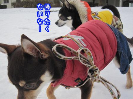 雪やコンコン、チワワはピョンピョン。6